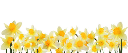 Photo for border of yellow daffodils  - Royalty Free Image