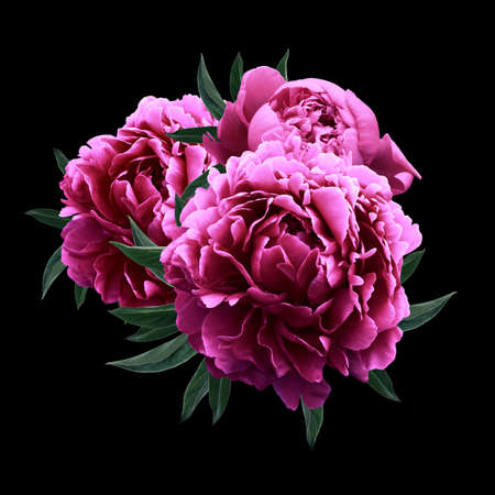 Photo for Pink peonies close up isolated on black background - Royalty Free Image