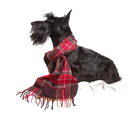 Photo pour Scottish terrier in a red scarf on white background - image libre de droit