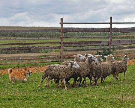 Foto de Welsh Corgi working as sheepdog with flock of sheep in a meadow - Imagen libre de derechos