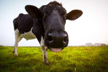 Foto de A funny cow on a meadow in East Frisia - Imagen libre de derechos