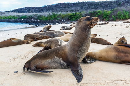 Photo pour Group of sea lions on the beaches of Galapagos, Santa Fe - image libre de droit