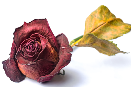 Foto de Wilted red rose over white isolated background - Imagen libre de derechos