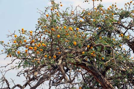 Photo for camel thorn tree (Vachellia erioloba - Acacia erioloba) - sossusvlei Namibia Africa - Royalty Free Image