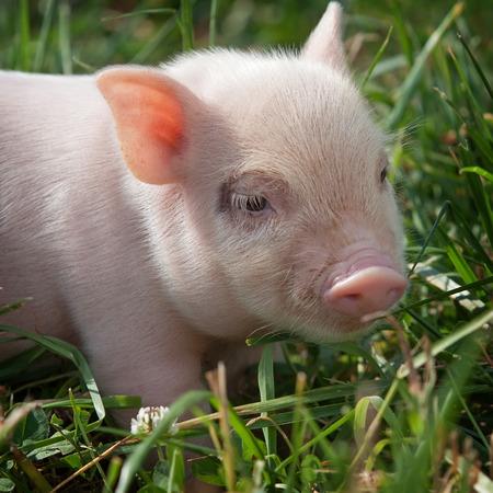 Vietnamese piggy in grass at summer day