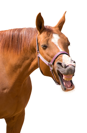 Photo pour A funny photo of a yawning horse isolated on white - image libre de droit