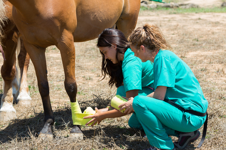 Photo pour Veterinary horses on the farm doing healing work on one leg - image libre de droit