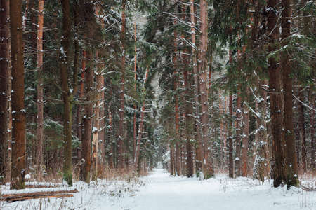 Photo for Beautiful forest road covered with snow, Russia - Royalty Free Image