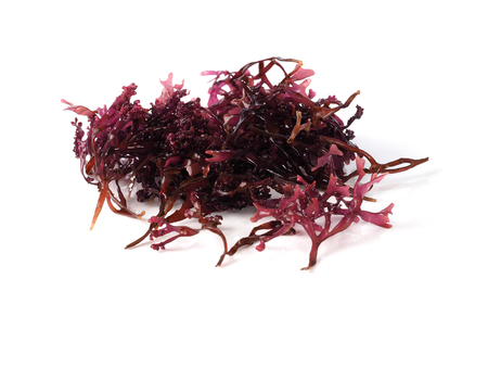 Photo for Musgo Estrellado – False Irish Moss -  Carrageen Moss  Binomial name: Mastocarpus stellatus. It is a sea vegetable or edible seaweed, ideal in preparing salads, marinades and sauces. - Royalty Free Image