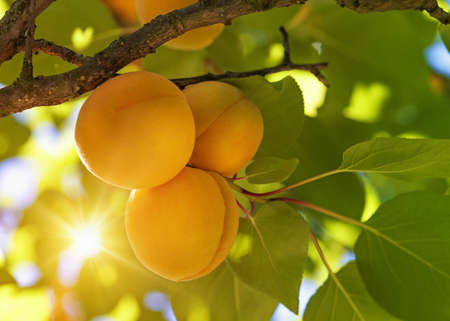 Photo for Apricot tree with fruits growing in the garden - Royalty Free Image