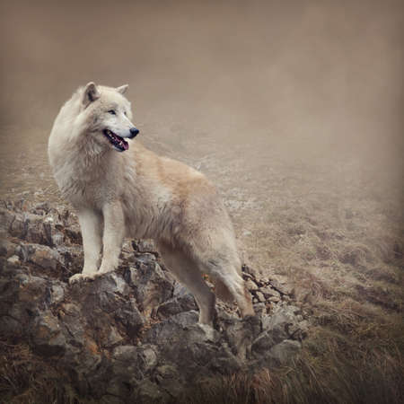 Photo for White wolf at the night - Royalty Free Image