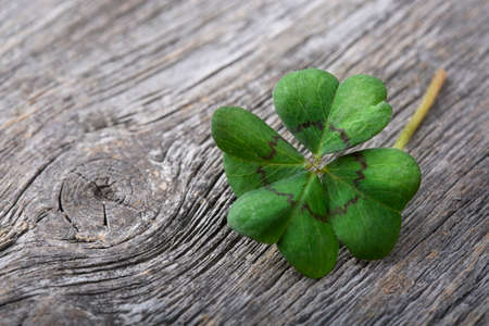 Photo for Four leaf clover on grey wooden background - Royalty Free Image