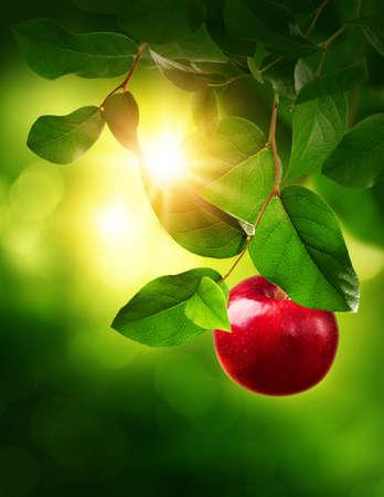Foto de Red apple on a tree in the garden - Imagen libre de derechos