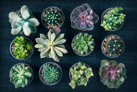 Photo pour Different succulents above the black wooden backgriund - image libre de droit