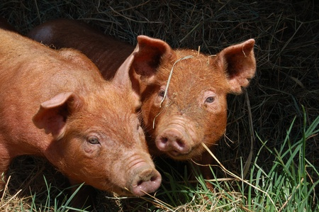 This pair of Tamworth piglets are enjoying playing in the pasture in spring   Tamworth is a heritage breed of pig, distinguished by its tan coloring and long bodies