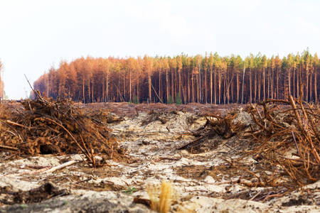 Foto de Deforestation. Uprooting of roots of trees. Chaotic deforestation in country with small economy leads to baldness and climatic natural disasters. Destruction of forest to illegal mining of amber. - Imagen libre de derechos