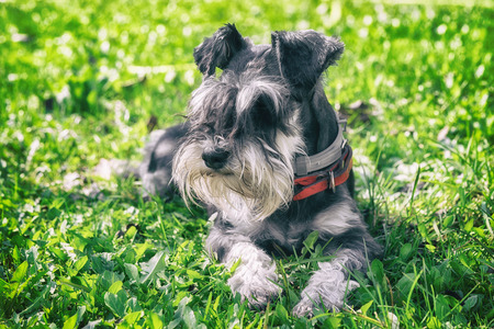 Photo pour black and silver miniature schnauzer dog laying on the green grass in a sunny day - image libre de droit