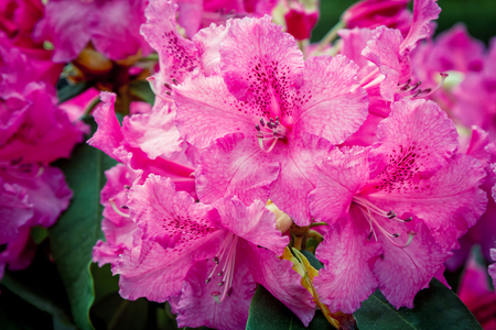 Photo pour Beautiful bright pink rhododendron flowers, growing in the garden. Spring blooming nature. - image libre de droit