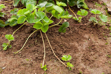 Photo pour Bush Strawberry Plant With Runners (Stolens) For Propagation In Garden Outdoor. - image libre de droit