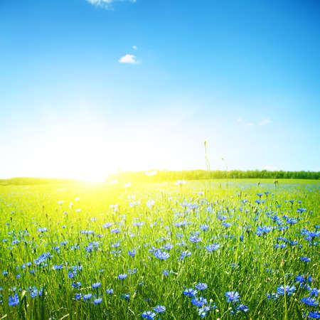 Photo pour Cornflower field, clear blue sky and bright sunlight  - image libre de droit