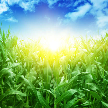 Foto de Green corn field,blue sky and sun on summer day. - Imagen libre de derechos