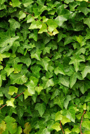 Abstract background of lush green ivy leaves