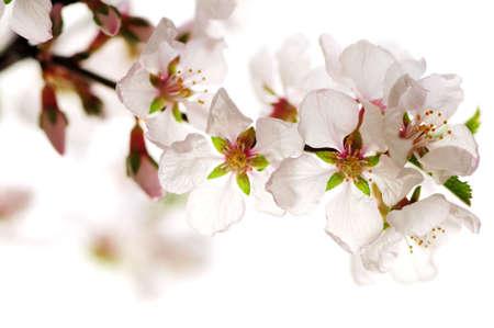 Foto de Macro of pink cherry blossoms isolated on white background - Imagen libre de derechos