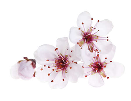 Cherry blossom flowers close up isolated on white background