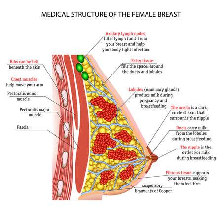 Ilustración de The anatomy of the female breast - Imagen libre de derechos