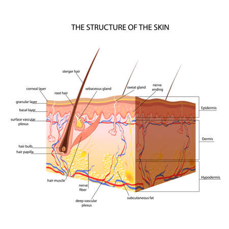 Illustration pour The anatomical structure of the skin vector - image libre de droit