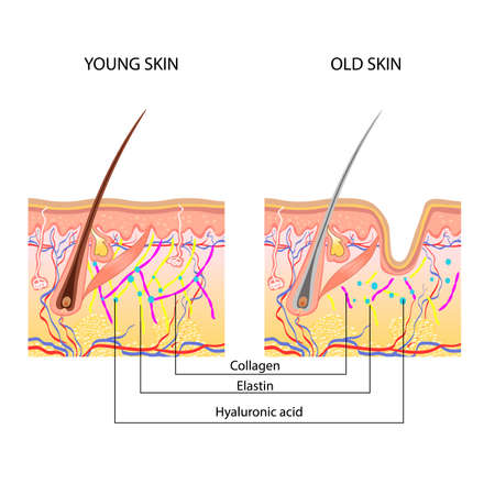Illustration pour The anatomical structure of the skin, young and old - image libre de droit
