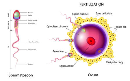 Illustration pour Fertilization is the union of an ovum and a spermatozoon. When a sperm contacts the surface of an egg. - image libre de droit