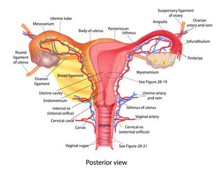 Illustration pour Uterus medical poster with female reproductive system scheme on white background - image libre de droit