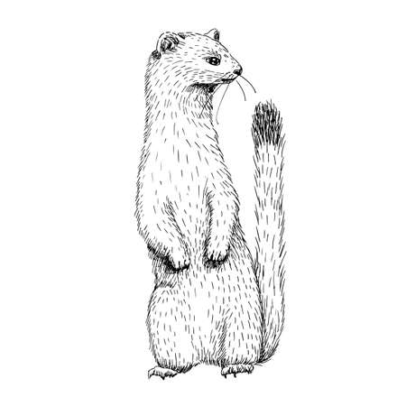 Illustrazione per Sketch line art drawing of ermine. Black and white vector illustration. Cute hand drawn animal. - Immagini Royalty Free