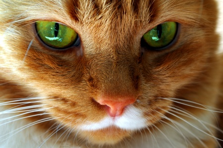 red cat with green eyes