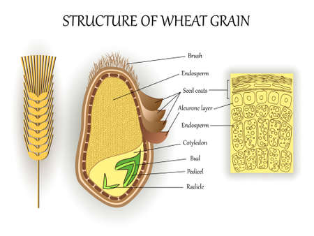 Illustration for Structure of wheat seed grain, vector infographics layers of endosperm, bud, fetus, pedicel, hull anatomical poster formation. Biology and botany science banner, illustration. - Royalty Free Image
