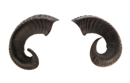 Photo for Pair of ram horns, isolated on white background - Royalty Free Image
