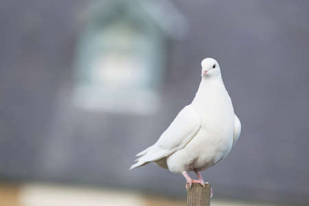 Photo for White Dove perched on a post - Royalty Free Image
