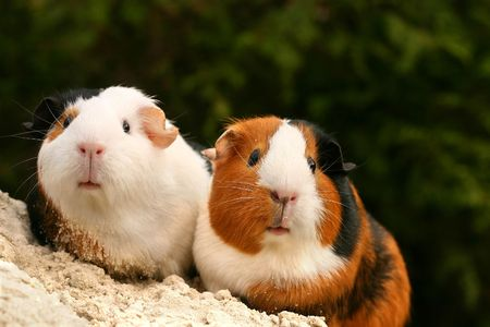 Two guinea pigs looking at the viewer