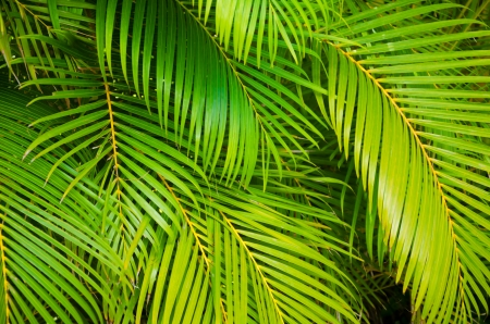 Photo pour Background from green leaves of palm tree - image libre de droit