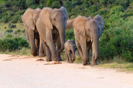 Foto de Family of elephants from Addo Elephant National Park, South Africa. African wildlife - Imagen libre de derechos