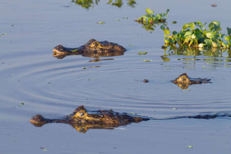 Photo pour Caiman floating on the surface of the water in Pantanal, Brazil. Brazilian wildlife. - image libre de droit