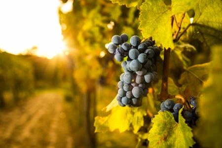 Photo for Grape in the vineyard  - Royalty Free Image