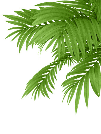 Photo for tropical plant fernleaf hedge bamboo branches on white background, - Royalty Free Image