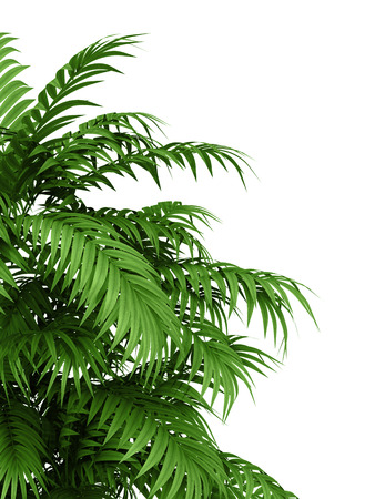 Photo pour tropical plant fernleaf hedge bamboo branches on white background, - image libre de droit