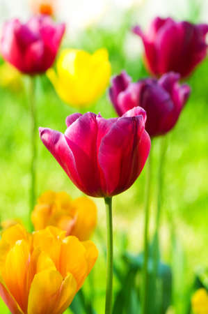 Photo for Tulip flowers in the park - Royalty Free Image