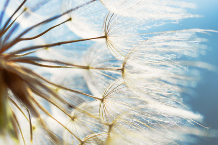 Photo for abstract dandelion flower background, closeup with soft focus - Royalty Free Image