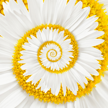 Photo for chamomile flower infinity spiral background - Royalty Free Image