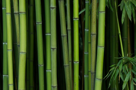 Photo for Bamboo Forest. Nature green background - Royalty Free Image