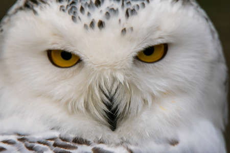 Photo for Closeup portrait of a snowy owl. (Bubo scandiacus) - Royalty Free Image